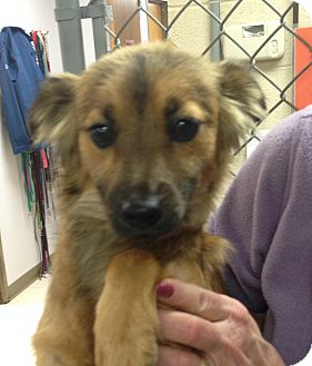 Sheltie, Shetland Sheepdog/Terrier (Unknown Type, Medium) Mix Dog for adoption in Greensburg, Pennsylvania - Lila