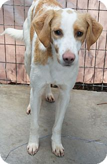Hound (Unknown Type) Mix Dog for adoption in Henderson, North Carolina - Arlo*
