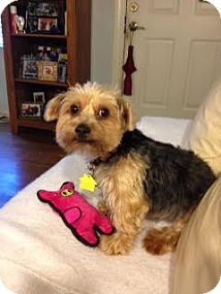 Yorkie, Yorkshire Terrier Mix Dog for adoption in Homestead, Florida - Daisy