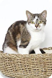 Domestic Shorthair Cat for adoption in Gloucester, Virginia - KYRA