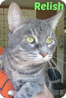 Domestic Shorthair Cat for adoption in Menomonie, Wisconsin - Relish
