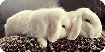 Lop, Holland Mix for adoption in Duluth, Minnesota - King Arthur & Adeline