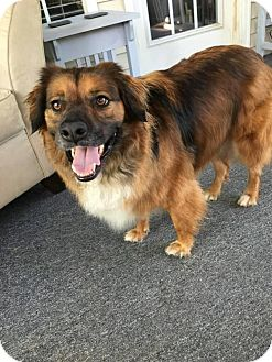 Collie/Golden Retriever Mix Dog for adoption in Charlotte, North Carolina - Manny