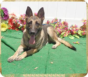 Belgian Malinois Dog for adoption in Marietta, Georgia - SASHA- also see ZEUS