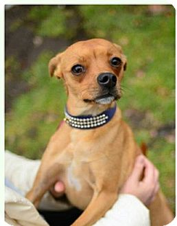 Chihuahua/Whippet Mix Dog for adoption in Beacon, New York - Pepper