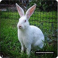 Adopt A Pet :: Scout - Tustin, CA