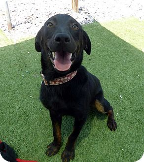 Labrador Retriever Dog for adoption in Rockville, Maryland - Frack