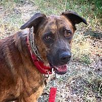 Adopt A Pet :: Brownie - Austin, TX