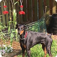 Adopt A Pet :: Sig - Arlington, VA