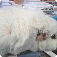 Adopt A Pet :: *Urgent* Ginny - Fullerton, CA