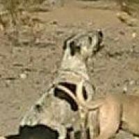 Boxer Mix Dog for adoption in Tonopah, Arizona - Sophie & Almost