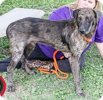 Catahoula Leopard Dog Mix Dog for adoption in Saddle Brook, New Jersey - Cooper