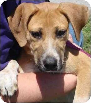 Hound (Unknown Type) Mix Puppy for adoption in Brenham, Texas - Gracie Sue