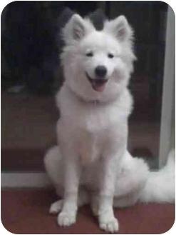 Samoyed Puppy for adoption in Arvada, Colorado - Lusi