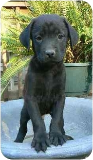 Labrador Retriever Mix Puppy for adoption in Salem, Massachusetts - Apirl