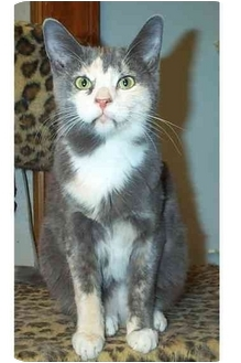 Domestic Shorthair Cat for adoption in Acme, Pennsylvania - Mia