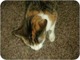 Domestic Shorthair Cat for adoption in Washington Terrace, Utah - JoJo