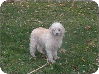 Toy Poodle Dog for adoption in Broadway, New Jersey - Raggedy Anne