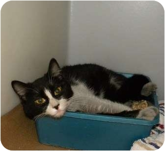Domestic Shorthair Kitten for adoption in Trenton, New Jersey - Lucky #25 (Adopted)