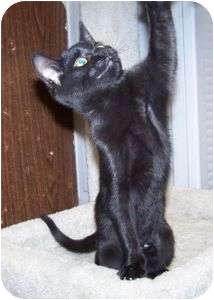 Domestic Shorthair Kitten for adoption in Colorado Springs, Colorado - K-Judy1-Janie