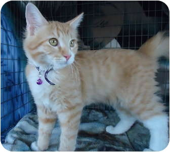 Domestic Mediumhair Cat for adoption in Turlock, California - 0823-1121