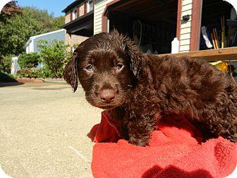 Newfoundland/Labrador Retriever Mix Puppy for adoption in South Jersey, New Jersey - Rose