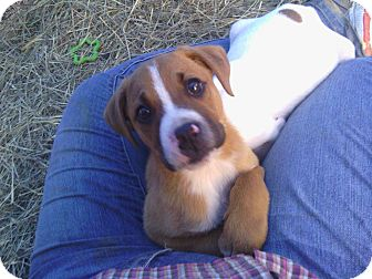 Boxer Mix Puppy for adoption in Parsippany, New Jersey - Louis