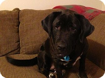 Labrador Retriever Mix Dog for adoption in Houston, Texas - Rosie