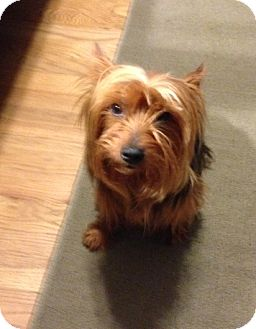 Yorkie, Yorkshire Terrier Mix Dog for adoption in Portland, Maine - Baxter