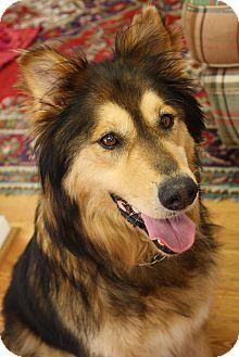 Collie/Shepherd (Unknown Type) Mix Dog for adoption in Marietta, Georgia - Kia Sereta