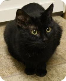 Domestic Shorthair Cat for adoption in West Des Moines, Iowa - Zenith