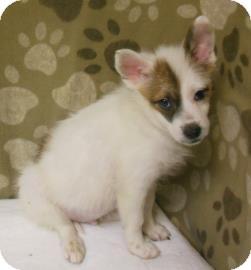 American Eskimo Dog Mix Puppy for adoption in Gary, Indiana - Monty