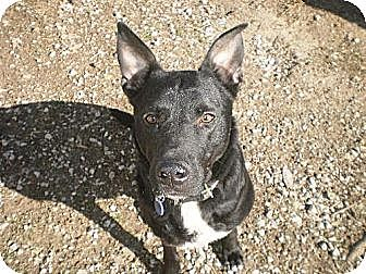 German Shepherd Dog Mix Dog for adoption in Manchester, Tennessee - Sampson