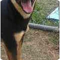 Adopt A Pet :: Whiskey - Alexandria, VA