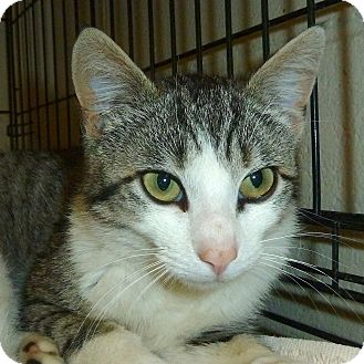 Domestic Shorthair Cat for adoption in Carmel, New York - Lincoln