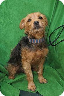 Yorkie, Yorkshire Terrier/Italian Greyhound Mix Dog for adoption in Hagerstown, Maryland - Scruffy