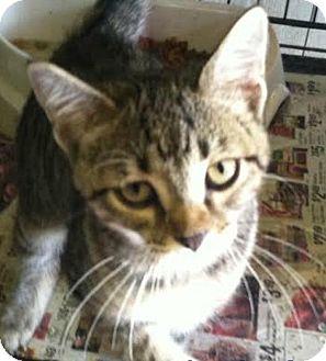 Domestic Shorthair Kitten for adoption in Hillside, Illinois - Betsy