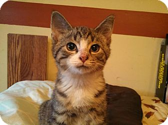 Domestic Shorthair Cat for adoption in East Brunswick, New Jersey - Zeus