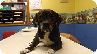 Dachshund/Boston Terrier Mix Dog for adoption in Columbus, Kansas - Chad