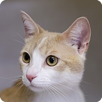 Adopt A Pet :: Tristram Shandy - Chicago, IL