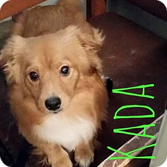 Pomeranian/Corgi Mix Dog for adoption in Rancho Santa Fe, California - Kada