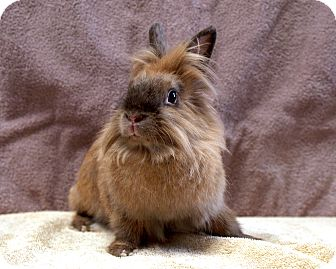Lionhead Mix for adoption in Fountain Valley, California - Honey