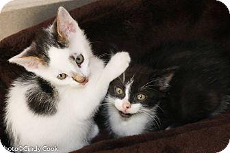 Domestic Shorthair Kitten for adoption in Ann Arbor, Michigan - Seattle Slew