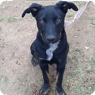 Shepherd (Unknown Type)/Cattle Dog Mix Puppy for adoption in Wappingers, New York - Bruno