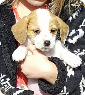 Chihuahua/Dachshund Mix Puppy for adoption in Buffalo, New York - Lilly