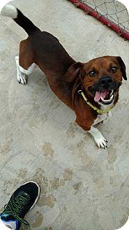 Beagle/Basset Hound Mix Dog for adoption in Hanna City, Illinois - Jaxson