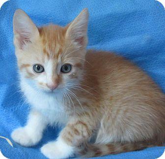 Domestic Shorthair Kitten for adoption in Meridian, Idaho - Frankie