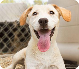 Labrador Retriever Mix Puppy for adoption in Hammond, Louisiana - Chrissy