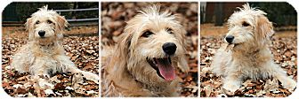 Goldendoodle Mix Dog for adoption in Forked River, New Jersey - Luna
