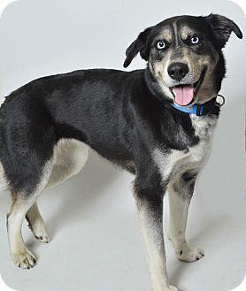 Husky/Shepherd (Unknown Type) Mix Dog for adoption in Fruit Heights, Utah - Cortona